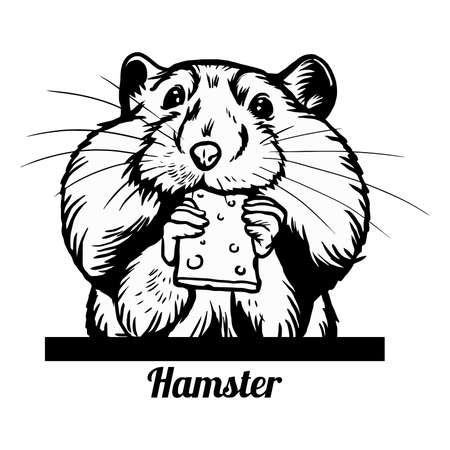 Hamster nibbles on a cracker - Funny Hamster peeking out - face head isolated on white