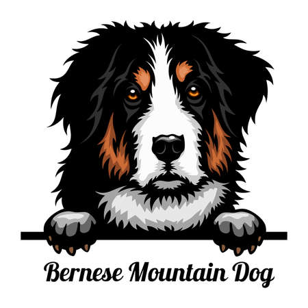 Bernese Mountain Dog - Color Peeking Dogs - breed face head isolated on white