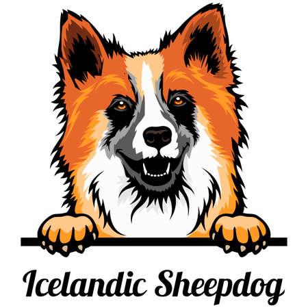 Icelandic Sheepdog - Color Peeking Dogs - breed face head isolated on white