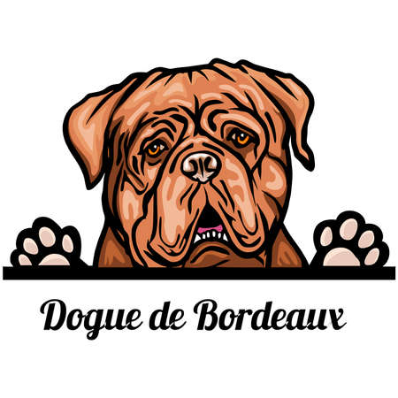Head Dogue de Bordeaux - dog breed. Color image of a dogs head isolated on a white background Vettoriali