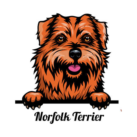Head Norfolk Terrier - dog breed. Color image of a dogs head isolated on a white background