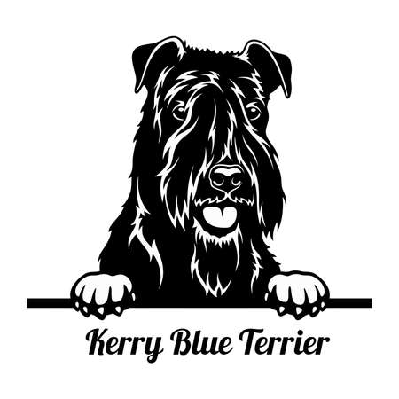 Peeking Dog - Kerry Blue Terrier breed - head isolated on white 矢量图像