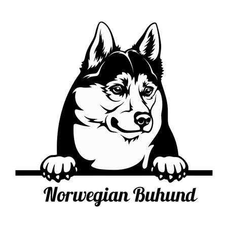 Peeking Dog - Norwegian Buhund breed - head isolated on white