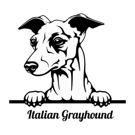 Peeking Dog - Italian Grayhound breed - head isolated on white 矢量图像