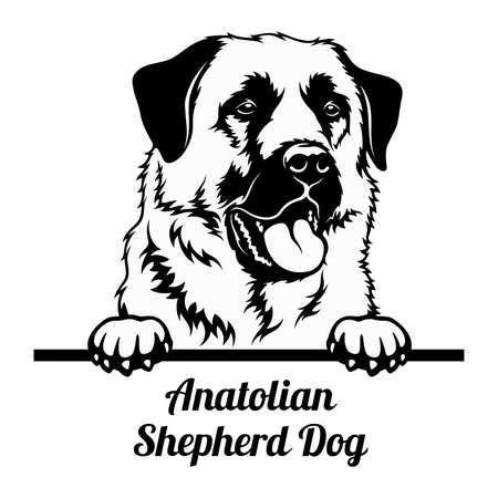 Peeking Dog - Anatolian Shepherd Dog breed - head isolated on white