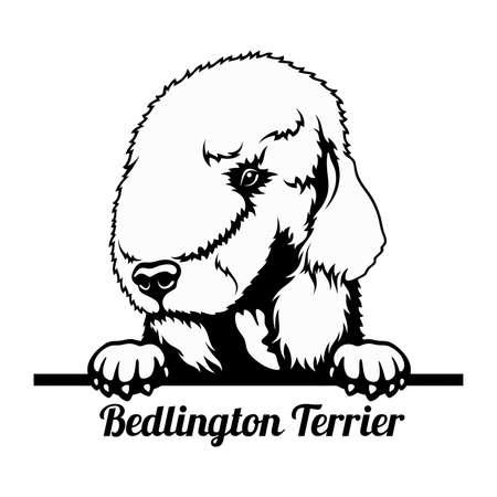 Peeking Dog - Bedlington Terrier breed - head isolated on white