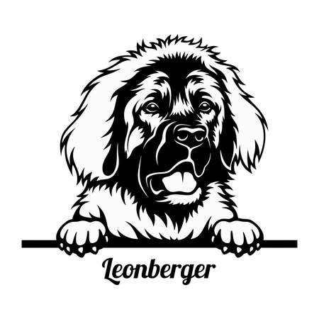 Peeking Dog - Leonberger breed - head isolated on white
