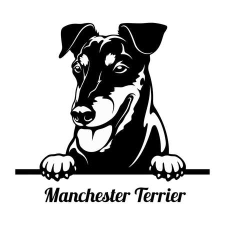 Peeking Dog - Manchester Terrier breed - head isolated on white