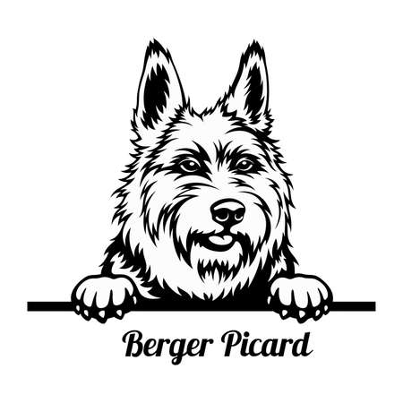 Peeking Dog - Berger Picard breed - head isolated on white