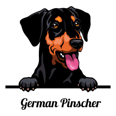 Head German Pinscher - dog breed. Color image of a dogs head isolated on a white background