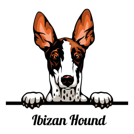 Head Ibizan Hound - dog breed. Color image of a dogs head isolated on a white background
