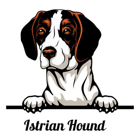 Head Istrian Hound - dog breed. Color image of a dogs head isolated on a white background