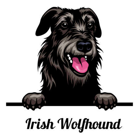 Head Irish Wolfhound - dog breed. Color image of a dogs head isolated on a white background