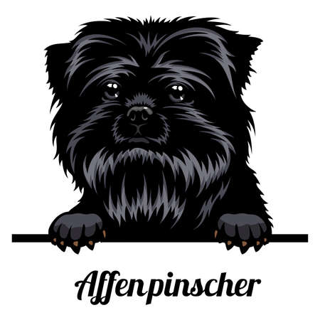 Head AffenPinscher - dog breed. Color image of a dogs head isolated on a white background