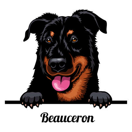 Head Beauceron - dog breed. Color image of a dogs head isolated on a white background 矢量图像