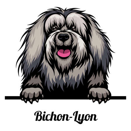 Head Bichon-Lyon - dog breed. Color image of a dogs head isolated on a white background
