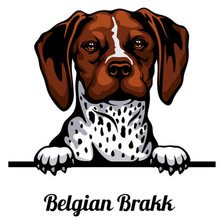 Head Belgian Brakk - dog breed. Color image of a dogs head isolated on a white background