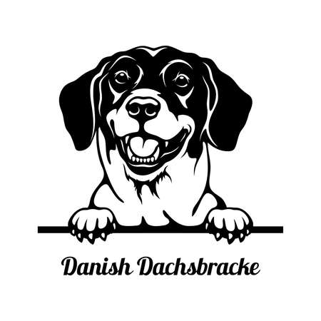 Peeking Dog - Danish Dachsbracke breed - head isolated on white Çizim