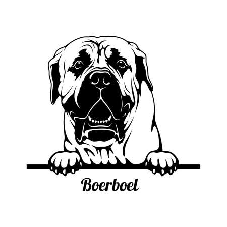 Peeking Dog - Boerboel breed - head isolated on white