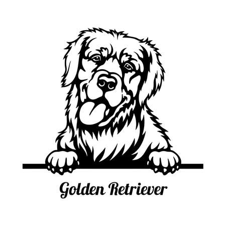 Golden Retriever Peeking Dog head isolated on white