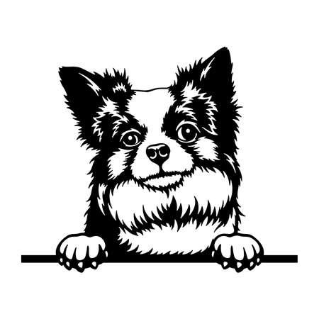 Long-haired Chihuahua Peeking Dog head isolated on white