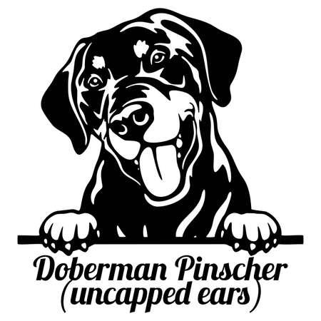 Doberman Pinscher Peeking Dog - head isolated on white