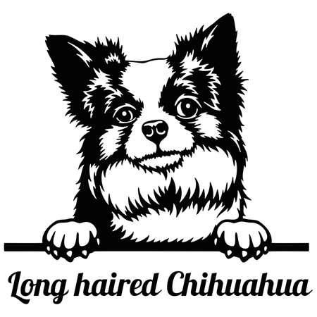 Chihuahua long-haired Peeking Dog - head isolated on white