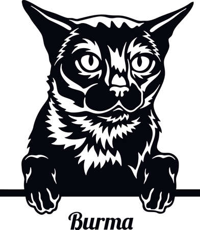 Burma Cat - Cat breed. Cat breed head isolated on a white background Vektorové ilustrace