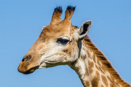 africa safari: Giraffe closeup portrait, Kruger Park, South Africa safari animals Stock Photo