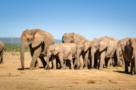 Elephants herd, elephants Addo park near Port Elizabeth, South Africa wild animals Stock Photo