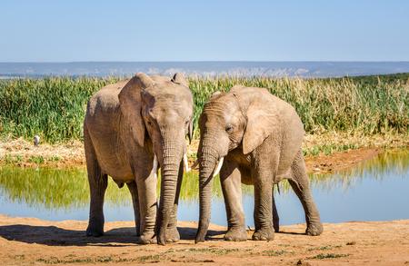 Elephants, Addo elephants park near Port Elizabeth, South Africa wild animals Stock Photo