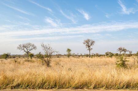 クルーガー国立公園は、サバンナ植生は黄色草です。南アフリカ 写真素材