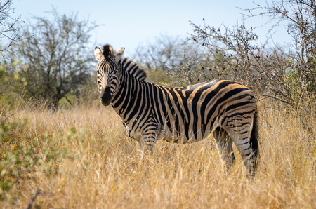 Zebra with beautiful white stripes in the grass. Kruger National Park, South Africa safari animals, savannah, wildlife photography