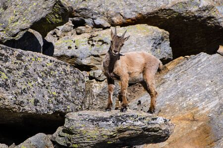 Young Ibex on the stone in Gran Paradiso national park fauna wildlife, Italy Alps mountains