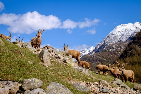 Group of adults Ibex on the stones with long horns in a summer sunny day. Gran Paradiso national park fauna, Italy Alps mountains, Europe