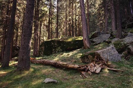 Felled broken tree in a beautiful forest of tall firs whit  and rocks with musk. Surrounding forest