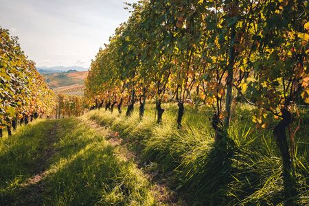 Langhe Nebbiolo vineyard with autumnal beautiful colors. Dolcetto, Barbera, Barbaresco and Barolo red wine. Tourism, travel destination. Viticulture Piedmont, Italy landmark. Stockfoto