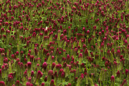 red clover: One white clover in a field of red clover