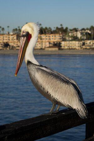 Pelican sitting on a pier railing in Oceanside California.