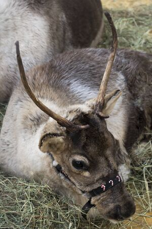 Cuplid the reindeer is laying down in a pile of hay.