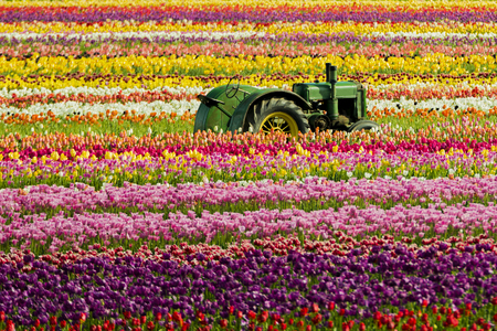 Tractor sitting in the middle of a field of tulips at the Wooden Shoe Tulip Festival