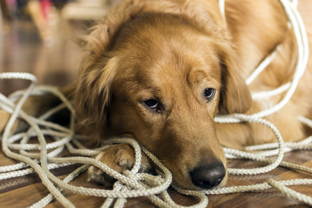 Golden Retrieve tangled up in a rope she was playing with. Stock Photo
