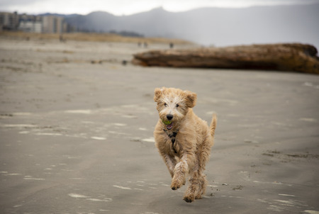 dog running on the beach with tennis ball in his mouth