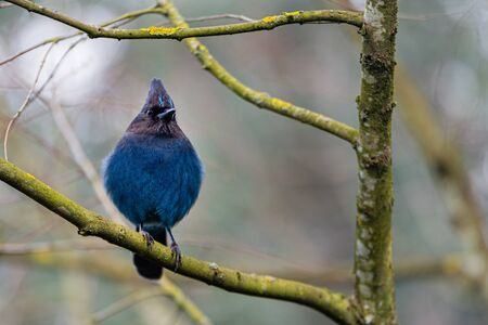 Bright blue Steller Jay perched on a branch looking around for food. Imagens