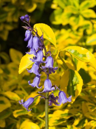 bluebell woods: garden bluebells close up