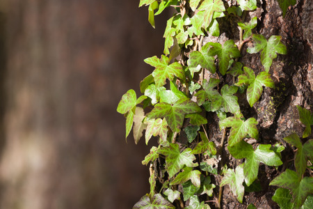 species of creeper: ivy on tree bark