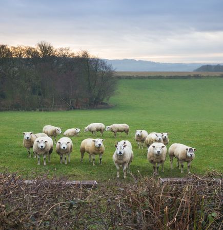 group of sheep in a farm