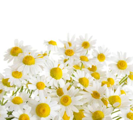chamomile flowers isolated on white background photo