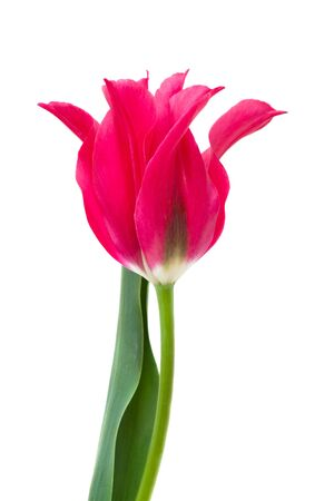minuet: elegant crimson tulip isolated on white, Tulip Dolls Minuet Stock Photo