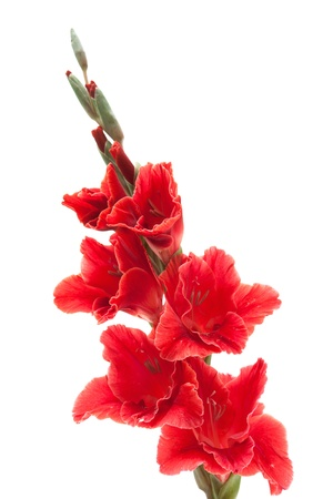 gladiolus: Red gladiolus isolated on white